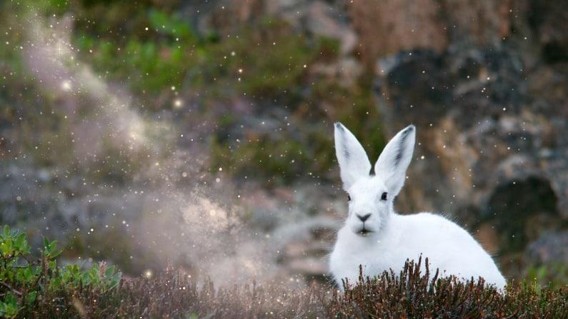 Follow the White Rabbit ….